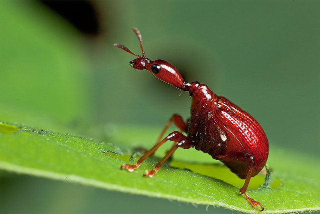 This is a Giraffe Weevil and apparently these things are common in Vietnam. I never seen anything like it!