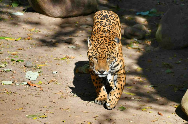 The jaguar is my favorite animal of the world!