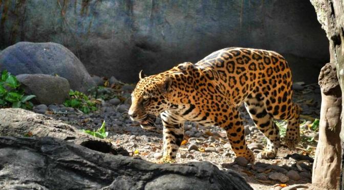 Jaguary January