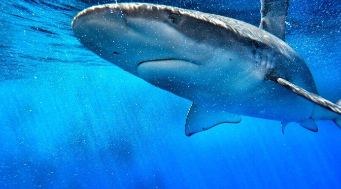 Close Encounters of the Shark Kind: Shark Cage Diving In Oahu