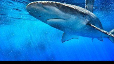 Shark Cage Dving Oahu