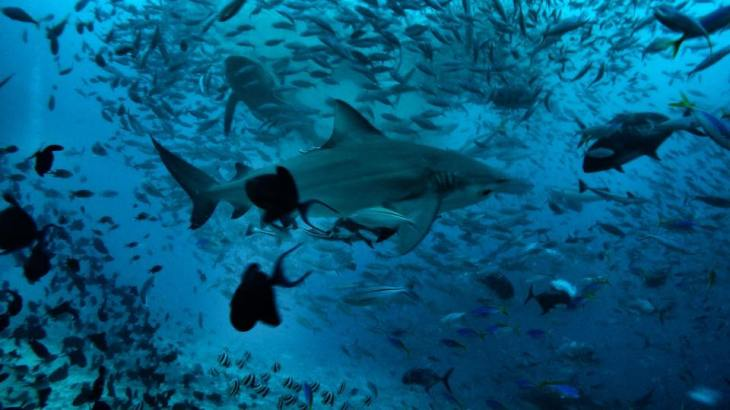 Bull sharks in Beqa island while scuba diving.