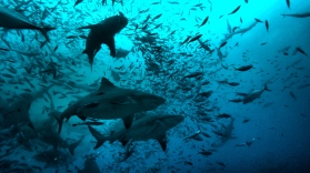 Bull Sharks in Beqa Island, Fiji while Scuba Diving